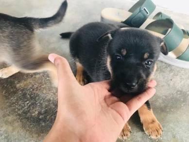Rottweiler for sell