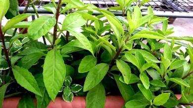 Pokok Herba Sambung Nyawa