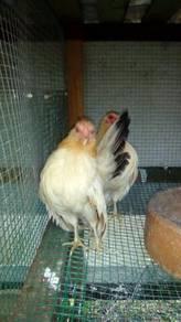 Ayam serama nk djual bapak sekoq ibu 3ekoq.