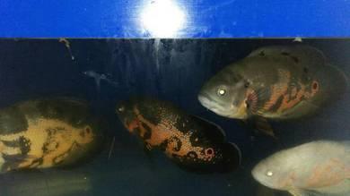 Ikan oscar / oscar fish