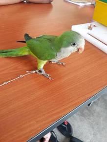Burung monk parakeet jinak siap lesen