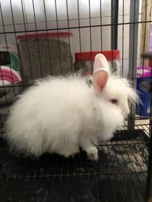 Rabbit dewasa sepasang jantan dan bertina
