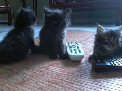 Kitten Anak Kucing