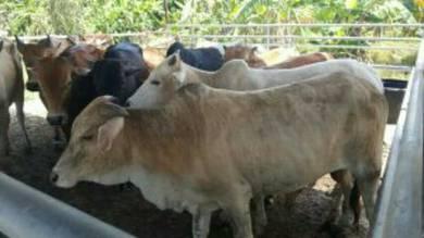Lembu & Kambing (korban/kenduri/Aqiqah)
