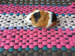 Dual/tricolors Home breed guinea pig