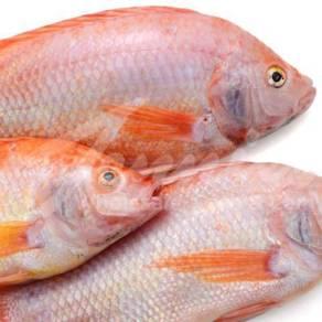 Tilapia fish from batang air