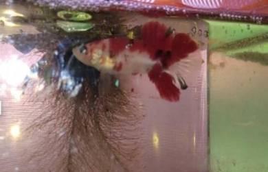 Betta fish / ikan laga