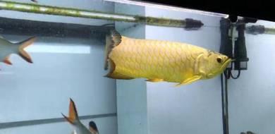 Arowana full golden base crossback 17 inch
