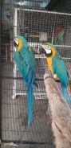 Burung blue and gold pair Siap lesen