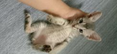Anak kucing 2bulan