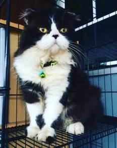 Kucing scotish fold mix persian