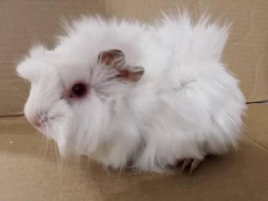 Cute guinea-pig