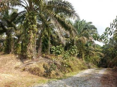 Oil palm Land at Layang-Layang, Kluang