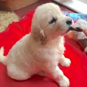 Retriever Puppy; golden