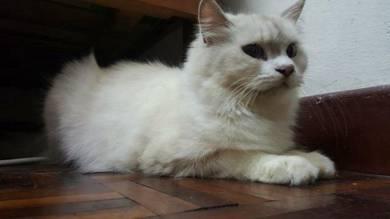Flat Persian Male