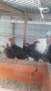 Ayam utk dinual