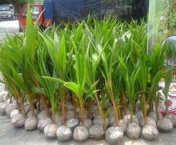 Benih kelapa Matag G2 tulen dari Bagan Datoh