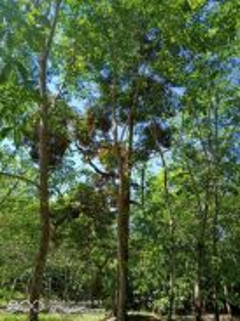 Dusun durian dan getah muda di parit