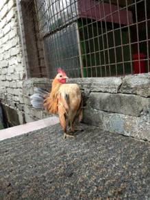 Ayam serama jantan ekor kelabu