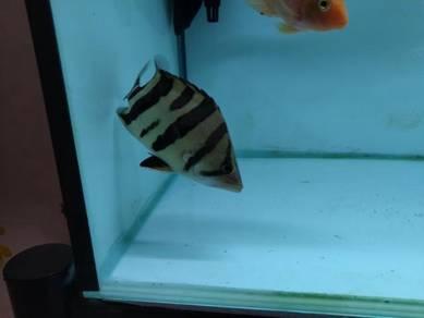 Tiger fish,Indo datnoid