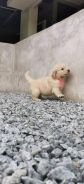Golden Retriever Puppy (Champion&Imported lineage)