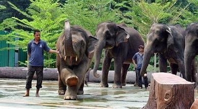 Kuala Gandah Elephant Sanctuary Tour | AMI Travel
