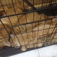 Mix bengal cat for free
