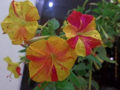 Biji Benih Mirabilis Jelapa (Bunga Pukul 4)