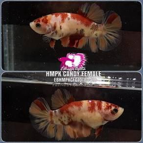 Betta HMPK Candy Female EBHMPKCF01OTB0418