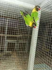 Induk Lovebird Wildgreen