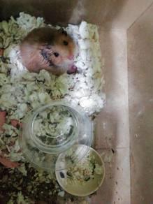Syrian hamsters freeee