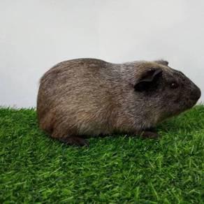 2 Guinea pig