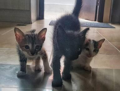 3 Long furr kittens