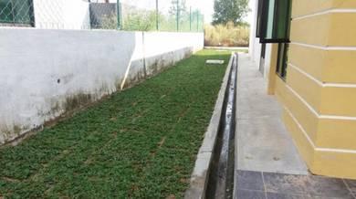 Carpet grass / Rumput karpet hidup