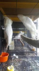 Burung umbrella cockatoo pair matang siap lesen