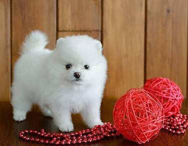 Good looking Pomeranian puppies