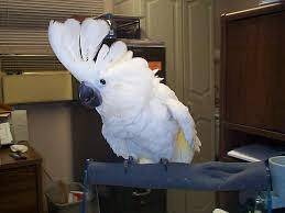 Papers registered Cockatoooo parrot