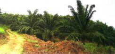 Oil Palm Land Kota Marudu | Undervalue