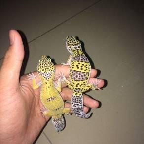 Leopard gecko murah
