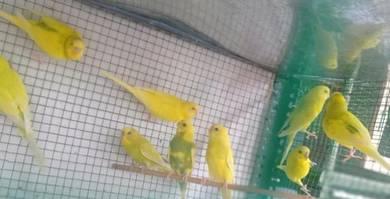 Budgie Birds