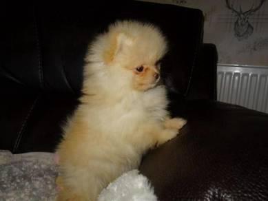 Health free Pomeranian puppies