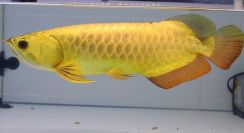 Full golden crossback arowana 16 inch