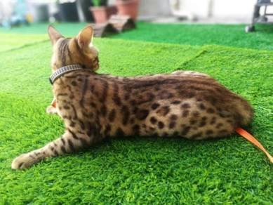 Kucing bengal male/jantan