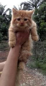 Anak kucing betina untuk dilepaskan