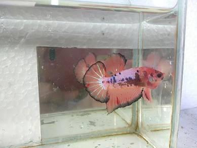 Betta ikan laga