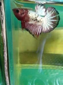 Ikan Laga - FCCP