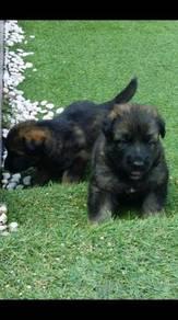 German shepherd puppy (Imported working line)