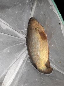 Ikan puyu untuk dijual