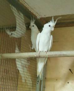 Induk Albino & Lutino Corcatile Matang