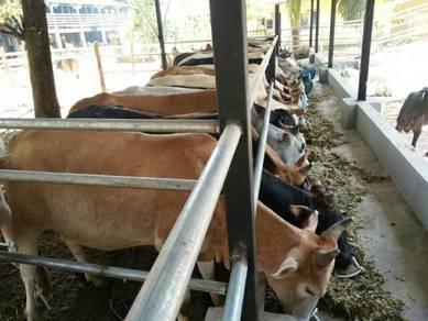 Pembekal lembu korban kelantan